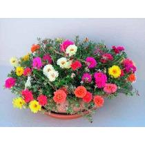 1100 Semente Flor Onze Horas Portulaca Vaso Jardim Fretgrats