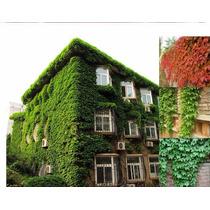 25 Sementes Trepadeira Hera-japonesa Falsa-vinha P Mudas Ivy