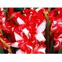 Palma De Santa Rita - Gladíolos - Bulbo De Flores - Flores