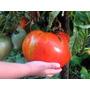 50 Sementes De Tomates Gigantes - Frete Grátis Muda