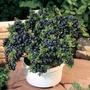 20 Sementes Blueberry Mirtilo Anão + Brinde