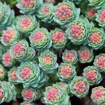 Sementes De Sedum Mix Planta Suculenta Para Mudas Cactos