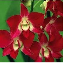 5 Sementes De Orquídea Vermelha_frete Gratis Carta Registra@