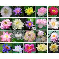 10 Sementes Flor De Lótus (20 Cores, Escolha) Frete Grátis