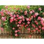 Frete Grátis - 10 Sementes De Rosa Trepadeira Cores Sortidas