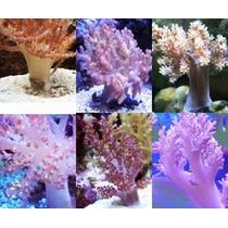 Aquário Marinho Mudas De Coral Kênia Tree (capnella Sp)