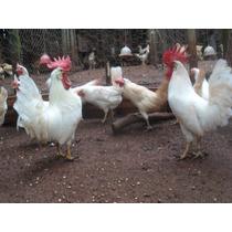 Ovos Galados De Legorne(rainha Dos Ovos) - Compre 12 Leve 15
