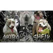 Vendas De Cães Raça American Pit Bull Terrier