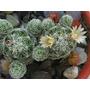 Mini Cacto Mammillaria Florido, Grátis Vaso De Cerâmica