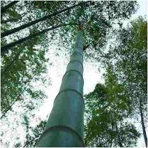 20 Semente Bambu Mosso Gigante Frete Grátis + Brinde