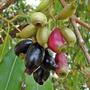 30 Mudas De Fruta Jambolão No Tubete - Arvore Frutifera