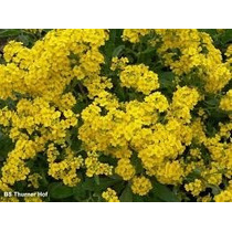 Sementes De Alyssum Amarela Flor De Mel Frete Gratis