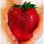 200 Sementes De Morango Hib Vermelho Gigante # Frete Grátis