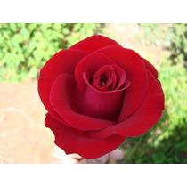 Semente Rosa Vermelha Frete Grátis Flores Planta Bonsai