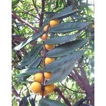 Cabeludinha - Jabuticaba Amarela Kit 10 Mudas