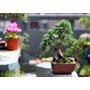 15 Sementes Pinheiro Negro - Bonsai Japonês