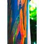 Eucalipto Arco Iris - Kit 3 Mudas