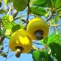 20 Sementes De Caju Amarelo Anão Precoce Cultivar Faga 11