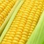 Sementes De Milho Híbrido Para Plantio Biomatrix Bm 3061 1kg