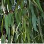 200 Folhas De Eucalipto Fresquinhas,onde Comprar Preço Baixo