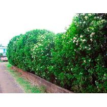 Murta De Cheiro Jasmim - Cerca Viva Bonsai Sementes P/ Muda