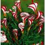 40 Sementes Planta Oxalis Versicolor Trevo Bastão Flor Rosas