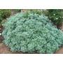 Losna Absinto Artemisia Sementes Ervas Para Mudas + Brinde