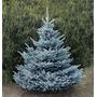 Pinheiro Azul Verdadeiro Picea Árbol Bonsai Sementes P/mudas