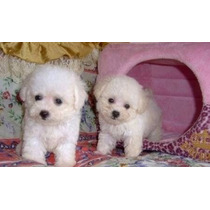 Poodle Micro Toy Lindos Machinhos
