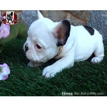 Bulldog Francês - Fêmea - Padrão Maravilhoso - Pedigree Cbkc