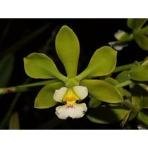 C Orquídea Encyclia Alboxanthina Adulta Já Floresce!