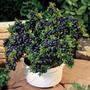 50 Sementes Blueberry Mirtilo Anão Para Muda Ou Bons@i