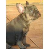 Bulldog Frances Femea Blue Olhos Azuis Canil Minion Bull