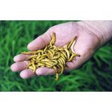 Tenébrio Molitor 300 Larvas Vivas - Fazenda De Insetos