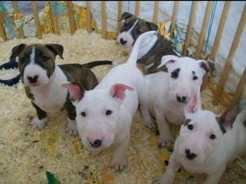 Bull Terrier Novas Ninhadas Disponíveis