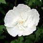 Sementes Hibisco Da Siria Hibiscus Syriacus Branco P/ Mudas