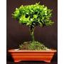 Mudas De Buxinho (buxus Serpenvires) - Com 4 Anos. Bonsai Jr