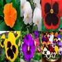 Kit 6 Pcts 600 Sementes De Amor Perfeito Muda Flores Jardim