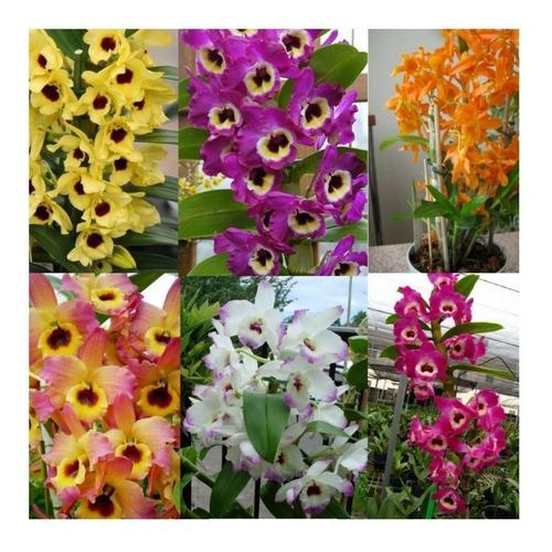 10 Mudas De  Orquidea Dendrobium Promocao Frete Gratis