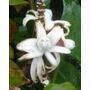 Bananeira Jardim Banana Rosa Musa Velutina Sementes +brinde