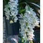Muda Orquídeas Cymbidium Pendente Branco Botões De Flores
