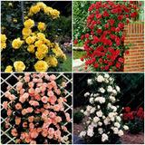 Lote 200  Sementes De Rosas Trepadeiras  E Exóticas P/mudas