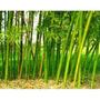 5 Rizomas De Bambu Ferro + Frete R$ 5,00 Carta Registrada