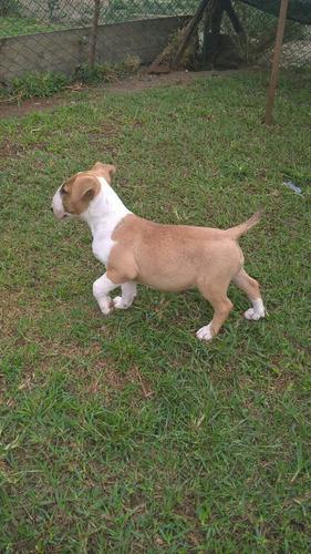 Bull Terrier Femea