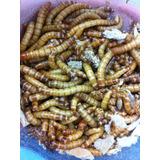 Tenebrio Molitor 200 Larvas Vivas