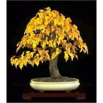 10 Sementes Bonsai Acer Ginnala Árvore P/ Mudas