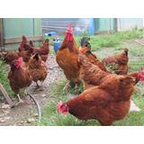 1 Duz De 15 Ovos Galados Galinha Embrapa 051 Poedeira Puras
