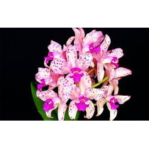 Orquidea Cattleya Amethistoglossa Adulta, Planta Inteira !