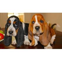 Lindos Filhotes De Basset Hound, Só Com A Equipe Pet Store