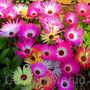 Flor Tapete Mágico Iceplant Suculenta 200 Sementes P/ Mudas
